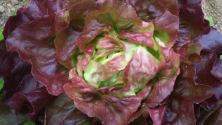 Red-leafed, buttery head lettuce